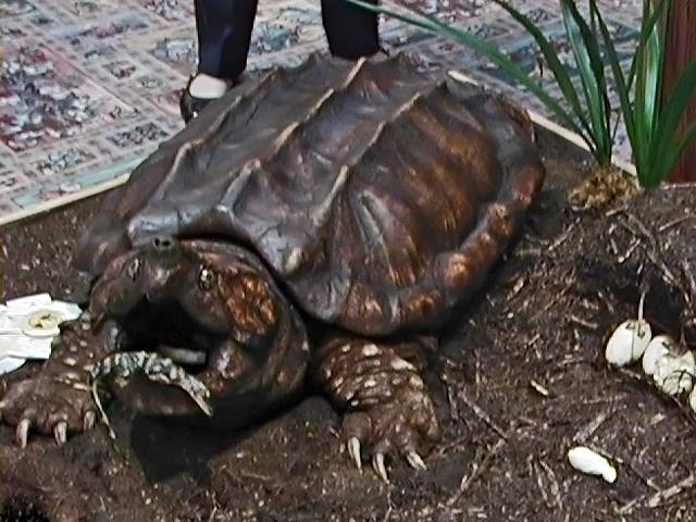 Отливка крокодиловой черепахи